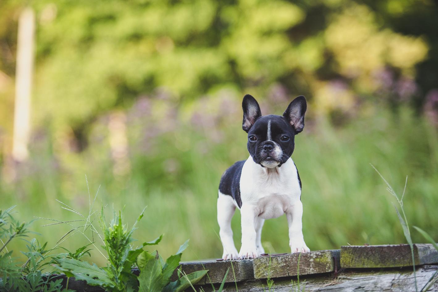 Ct Pet Photography French Bulldog Stella Maler Photography